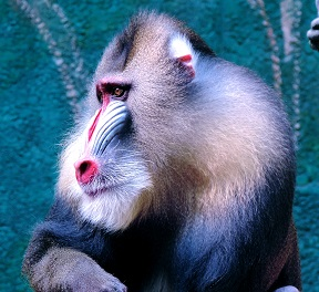 A Mandrill Photo by Rieke T-bo on Unsplash