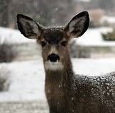 A Musk Deer Photo by Nathan Wolfe on Unsplash