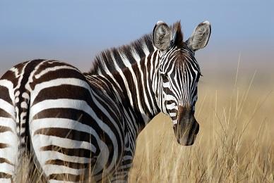 A Zebra Photo by Karlijn Prot on Unsplash