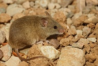 An Algerian Mouse Photo by Ricky Kharawala on Unsplash