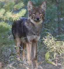 An Eastern Wolf Photo by Alan Emery on Unsplash