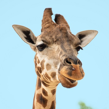 A Giraffe Photo by Sian Cooper on Unsplash