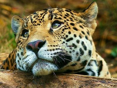 A Jaguar Photo by Geran de Klerk on Unsplash