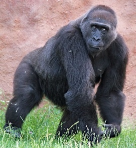 A Lowland Gorilla Photo by Dušan Smetana on Unsplash