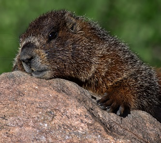 A Mountain Beaver Photo by Dave Willhite on Unsplash