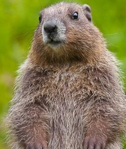An Olympic Marmot Photo by Hosea Georgeson on Unsplash