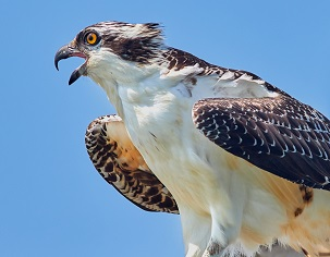 An Osprey Photo by Jongsun Lee on Unsplash