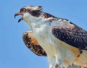 An Osprey Photo by Jongsun Lee on Unsplash