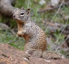 A Rock Squirrel Photo by Sylvia Barron on Unsplash