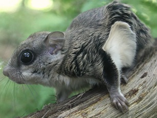 A Southern Flying Squirrel Photo by Brecht Denil on Unsplash