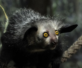 An Aye-Aye photo by Henry Miller on Unsplash