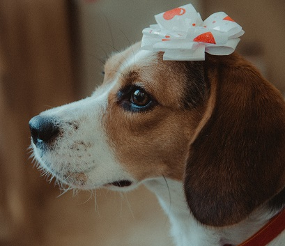 A Beagle Photo by Vlad Sargu on Unsplash