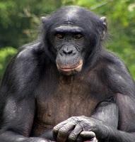 A Bonobo Monkey Photo by Tj Kolesnik on Unsplash