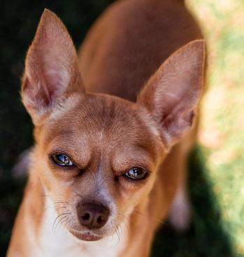 A Chihuahua Photo by Niki Zbrankova on Unsplash