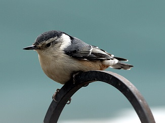 A Corsican Nuthatch Photo by Chris Chow on Unsplash