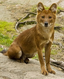 A Dhole Photo by Nathalie SPEHNER on Unsplash