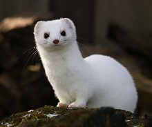 An Ermine photo by Leo Tolstoy on Unsplash