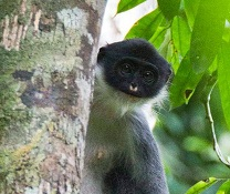 A Miller's Grizzled Langur photo by Eric Fell on Unsplash.com