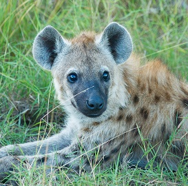 A Hyena Photo by Vincent van Zalinge on Unsplash