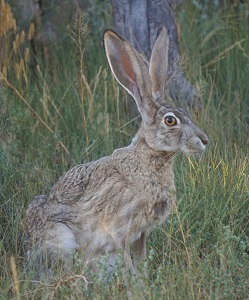 A Jackrabbit Photo by Mike Lewinski on Unsplash