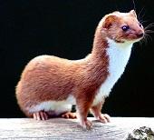 A Least Weasel Photo by Zdeněk Macháček on Unsplash