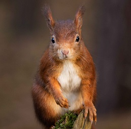 A Red Squirrel Photo by Rebecca Prest on Unsplash