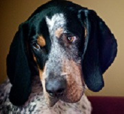 A Bluetick Coonhound photo