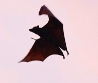 An Erabu Flying Fox Photo by Igam Ogam on Unsplash