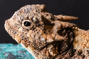 A Horned Toad Photo by Cynthia Beilmann on Unsplash