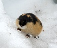 A photo of a Lemming