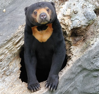 Malayan Sun Bear Photo by Dušan Smetana on Unsplash