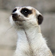 A Meerkat photo Photo by Matteo Ferrero on Unsplash