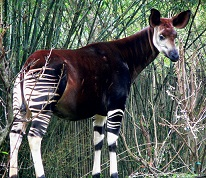 An Okapi photo