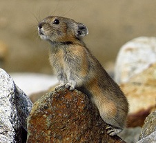 A photo of a Pika
