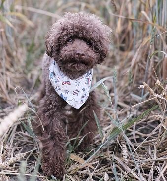 A Poodle dog Photo by The Poodle Gang on Unsplash