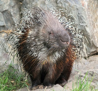 A Porcupine Photo by Dušan Smetana on Unsplash