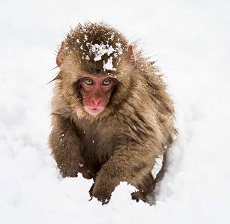 A Rhesus Macaque Photo by howling red on Unsplash