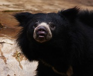 A Sloth Bear Photo by Julius Jansson on Unsplash