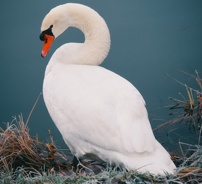 A Swan Photo by Thomas Millot on Unsplash