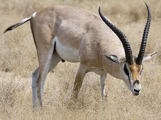 A Tibetan Gazelle Photo by Jaliya Rasaputra on Unsplash