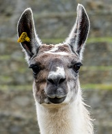 An Alpaca Photo by Willian Justen de Vasconcellos on Unsplash