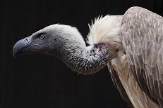 A Condor Photo by Nick Kwan on Unsplash