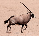 An Oryx Photo by Jairph on Unsplash