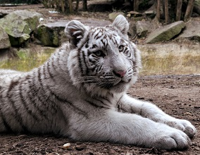 A Siberian Tiger Photo by Lucie Jung on Unsplash