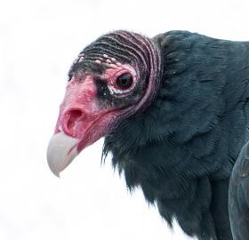 A Turkey Vulture Photo by Steve Harvey on Unsplash