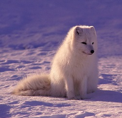 An Arctic Fox Photo by Jonatan Pie on Unsplash