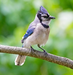 A Bluejay Photo by Mathew Schwartz on Unsplash
