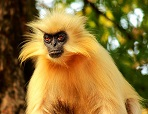 A Golden Langur photo by Assam on Unsplash