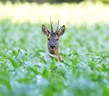 A Roe Deer Photo by Hans Veth on Unsplash