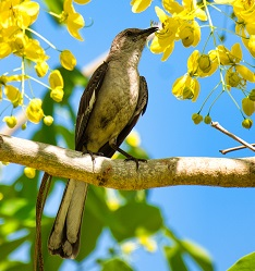 A Mockingbird Photo by Brian McGowan on Unsplash